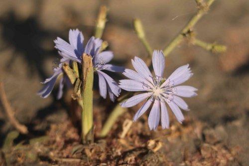 Fleur d'altitude